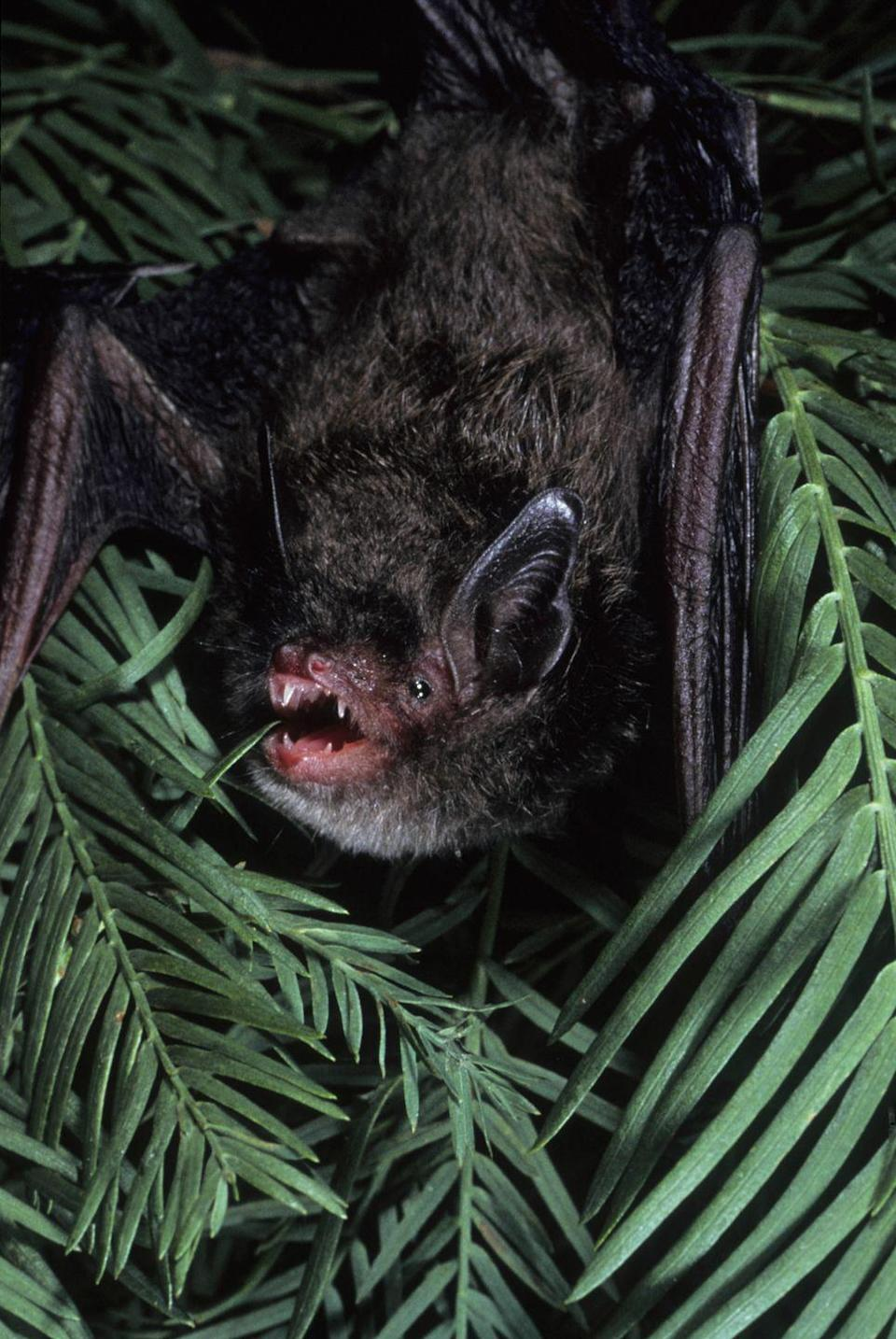 <p><strong>Indiana Bat - </strong>Native to North America and found in many states, the Indiana Bat has had a 57% population drop in the last 50 years. Who's to blame? Human disturbance and natural predators during its hibernation period. </p>