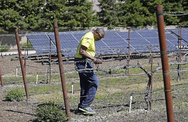 In this March 13, 2014 photo, Dusty Baker walks through his vineyard with solar panels in the background at his home in Granite Bay, Calif. While his former players and fellow managers are busy preparing for opening day, Baker is busy tending to his crops, planning his next plantings and minding his vineyard and the several hybrid fruit trees that border it. Out of uniform for the first time since taking 2007 off between managerial jobs with the Cubs and Reds, Baker is not slowing down much from his pressure-packed days in the dugout. (AP Photo/Eric Risberg)