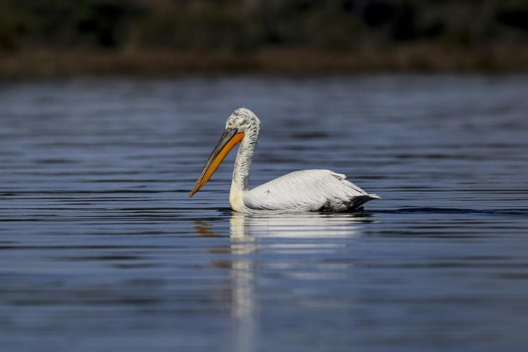 The Dalmatian pelican (Pelecanus crispus) is on the International Union for Conservation of Nature red list of threatened species