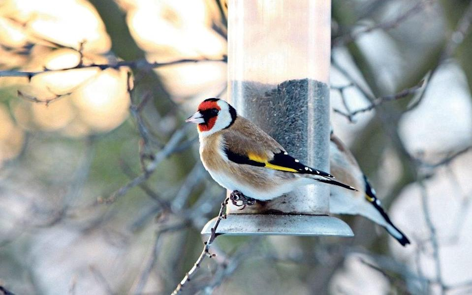Attracted by niger seed, goldfinches are a colourful sight on bird tables and feeders - Alamy