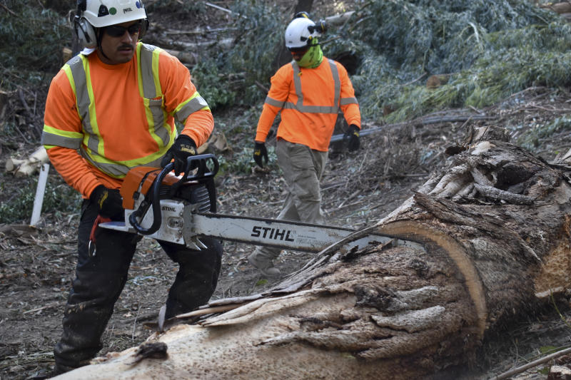 David Gonzalez (left) with ArborWorks cuts a eucalyptus tree after felling it to reduce wildfire dangers for communities living along California's Route 17 on Wednesday, Nov. 20, 2019, near Holy City, Calif. Non-native plants including eucalyptus burn more readily than native species. (AP Photo/Matthew Brown)