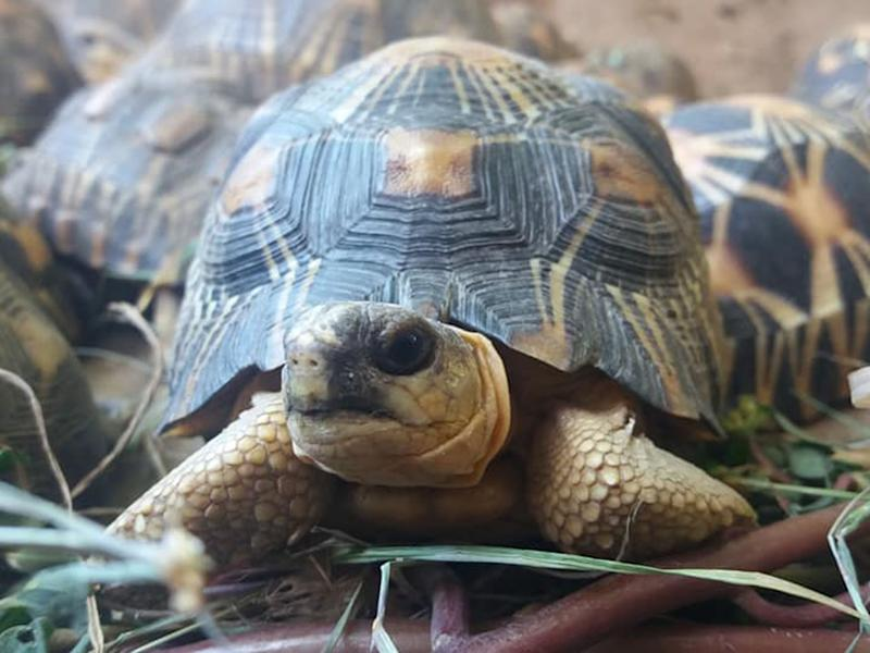 The radiated tortoises were found in a house in Madagascar: Turtle Survival Alliance