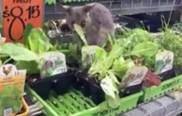 Shoppers were in for a furry surprise at a Brisbane Bunnings store this weekend, when a cute possum was spotted scurrying about in the plants section. Source: Facebook