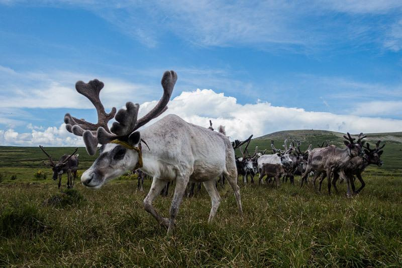 "<p>The reindeer roam free during the day. </p><p><i>(Photo: Alesha Bradford / <a href=""http://www.nomadasaurus.com/"">NOMADasaurus</a>)</i></p>"