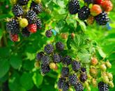 <p>You may want to consider planting blackberries in the fall rather than in early spring if you live in an area with a milder winter. We're partial to erect blackberries that grow in bushes as the plant doesn't need a trellis for support. Plant the bare roots at a site that receives plenty of sunlight with a thick layer of mulch around each plant. These easy-to-grow berries love water, so it's important that the soil is never overly dry. Overtime, the bush will produce canes where you can expect the berries to grow. </p>