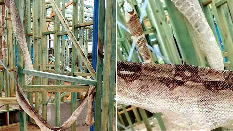 Picture of the snake skin found at a construction site in October at Cascades Estate in Silverdale, NSW