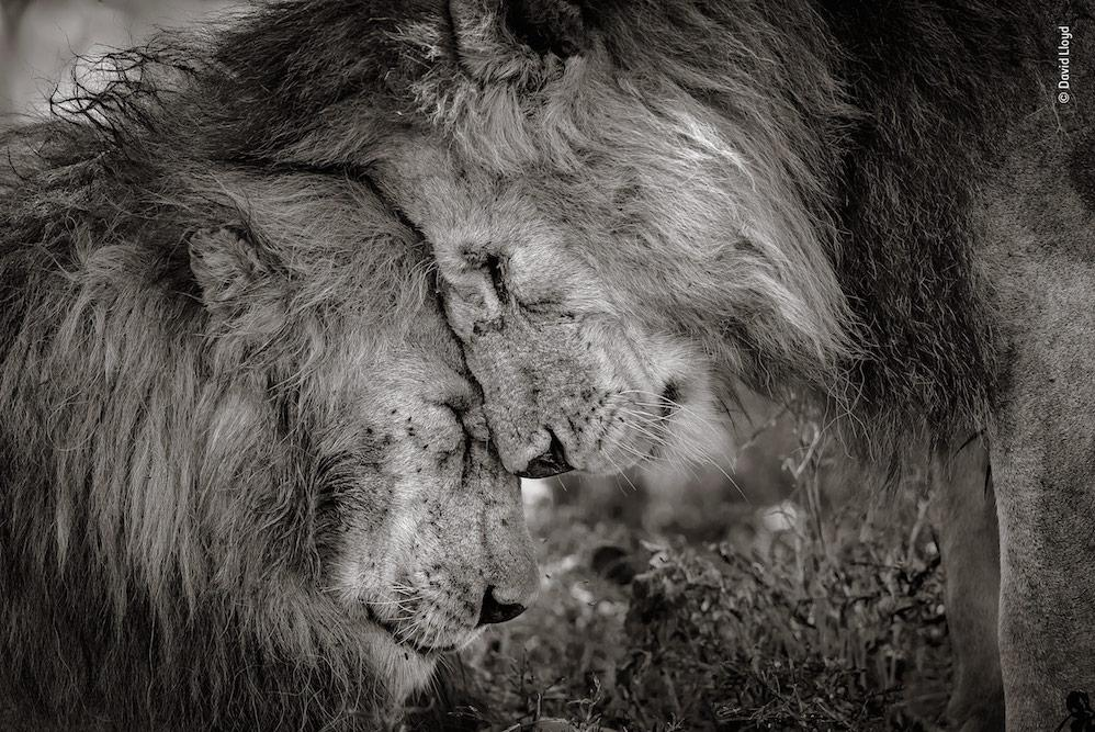 <p>Bond of Brothers by David Lloyd, New Zealand / UK – These two adult males, probably brothers, greeted and rubbed faces for 30 seconds before settling down. </p>