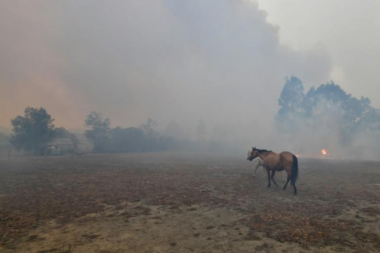 Scared horses try to move away from nearby bushfires