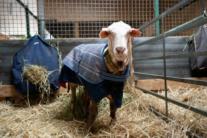 Sheep Baarack is pictured after his thick wool was shorn in Lancefield, Australia