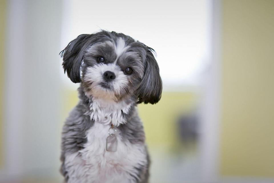 """<p>If you're looking for a pup that just wants to love on you all day, look no further than a Maltese Shih Tzu. A hybrid of the two breeds, these pups are bred solely to be companion dogs for people with allergies, are obedient, outgoing, and always affectionate. Dog Time rates them a 1/5 for shedding, and recommends them as a <a href=""""https://dogtime.com/dog-breeds/maltese-shih-tzu#/slide/5"""" rel=""""nofollow noopener"""" target=""""_blank"""" data-ylk=""""slk:great option for first-time pet owners"""" class=""""link rapid-noclick-resp"""">great option for first-time pet owners</a>. </p>"""