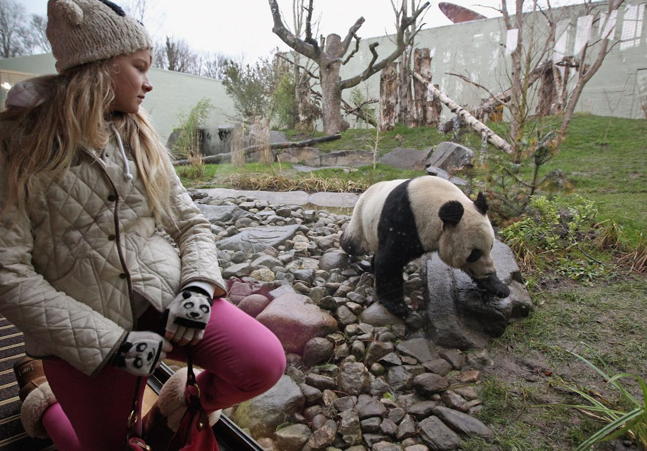 EDINBURGH, SCOTLAND - DECEMBER 16:  Eve Miller, one of the first members of the public to view Tian Tian the female panda bear at Edinburgh Zoo on December 16, 2011 in Edinburgh, Scotland. The eight-year-old pair of giant pandas arrived on a specially chartered flight from China over a week ago and are the first to live in the UK for 17 years. Edinburgh zoo are hopeful that the pandas will give birth to cubs during their 10 year stay in Scotland.  (Photo by Jeff J Mitchell/Getty Images)