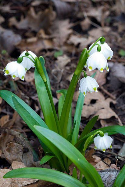 """<p>These plants, also called leucojum, bloom profusely. They have a wispy, baby's breath-type effect and will naturalize well. They're also pest-resistant and tolerate a wide range of soils and exposures. They like part shade to full sun. </p><p><a class=""""link rapid-noclick-resp"""" href=""""https://www.dutchbulbs.com/product/Leucojum_Aestivum"""" rel=""""nofollow noopener"""" target=""""_blank"""" data-ylk=""""slk:SHOP SNOWFLAKES"""">SHOP SNOWFLAKES</a></p>"""