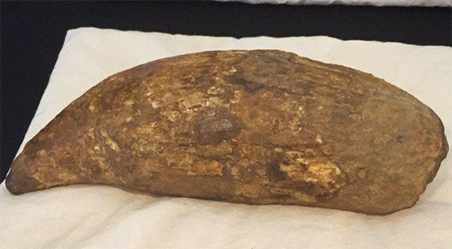 The tooth is believed to belong to an extinct species of killer sperm whale measuring up to 18 metres. Photo: 7 News