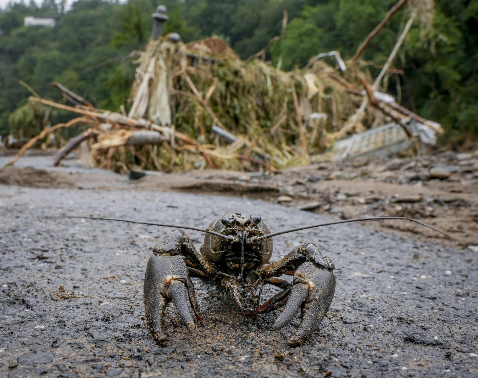 A crustacean walks on a road after flooding went back in Schuld, Germany, Friday, July 16, 2021. Two days before the Ahr river went over the banks after strong rain falls causing severals deaths and hundreds of people missing. (AP Photo/Michael Probst)