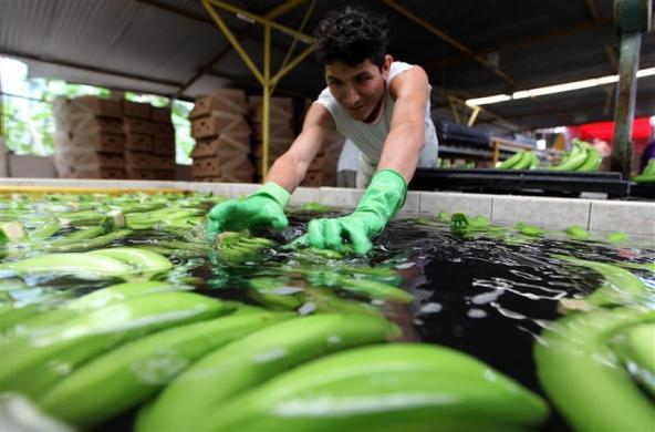 An Ecuadorean worker washes bananas in a farm before packing them to be exported in Machala November 20, 2009.