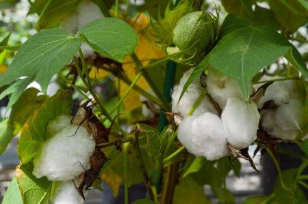 An experimental cotton plant is shown at a Texas A&M research facility in this handout image provided by the Texas A&M University College of Agriculture and Life Sciences in College Station, Texas, U.S., on October 17, 2018. Courtesy Lacy Roberts/Texas A&M University/Handout via REUTERS