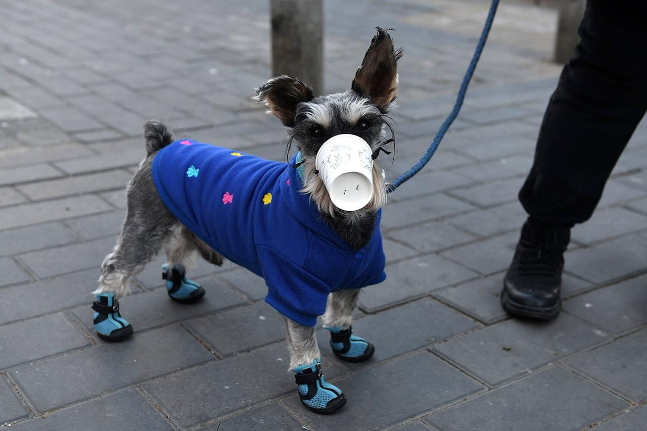 A dog wears a paper cup over its mouth on a street in Beijing.