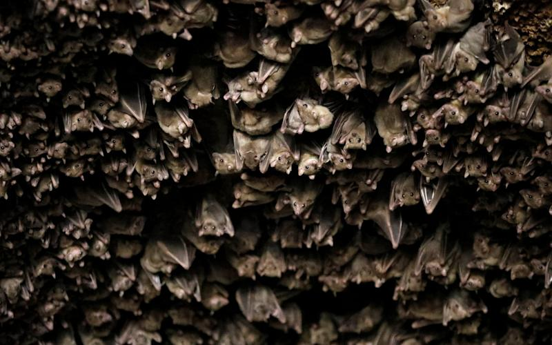 It is illegal to stop bats - which are a protected species - from reaching their roost, leaving many churches unable to patch up holes in their walls and doors which bats use for access.  - REUTERS