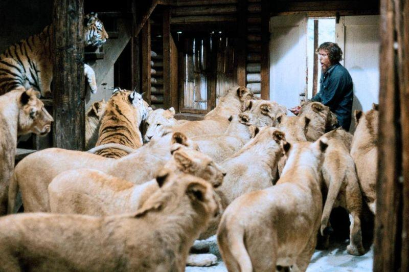 """Noel Marshall -- and lots of lions and tigers -- in """"Roar."""" (Alamo Drafthouse)"""