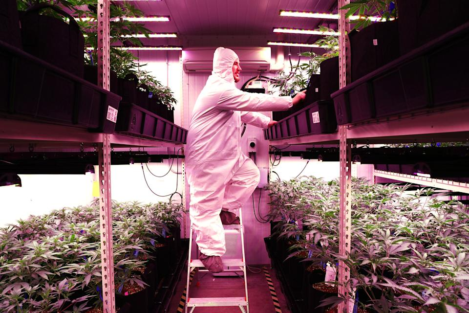 "UXBRIDGE, MA - JANUARY 2: Joe Gibson, co-owner and head grower of Gibby's Garden, checks on marijuana plants in the ""veg room"" of his cannabis business in Uxbridge, MA on Jan. 2, 2020. Co-owned by Joe and his parents, Fred and Kim Gibson, family-owned Gibby's Garden is the first cannabis microbusiness licensed to open in Massachusetts. Microbusinesses like Gibbys say they can provide consumers with small-batch cannabis flower and products that are superior to pot from bigger operators  akin to the difference between craft beer and Budweiser. They cant open their own stores, though, so Gibbys plans to sell its first marijuana flower wholesale Monday to Carolines Cannabis and run without corporate backing. (Photo by Pat Greenhouse/The Boston Globe via Getty Images)"