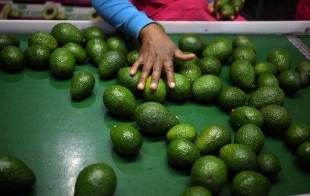 A worker sorts avocados at a farm factory in Nelspruit in Mpumalanga province, about 51 miles (82 km) north of the Swaziland border, South Africa, June 14, 2018. Picture taken June 14, 2018. REUTERS/Siphiwe Sibeko