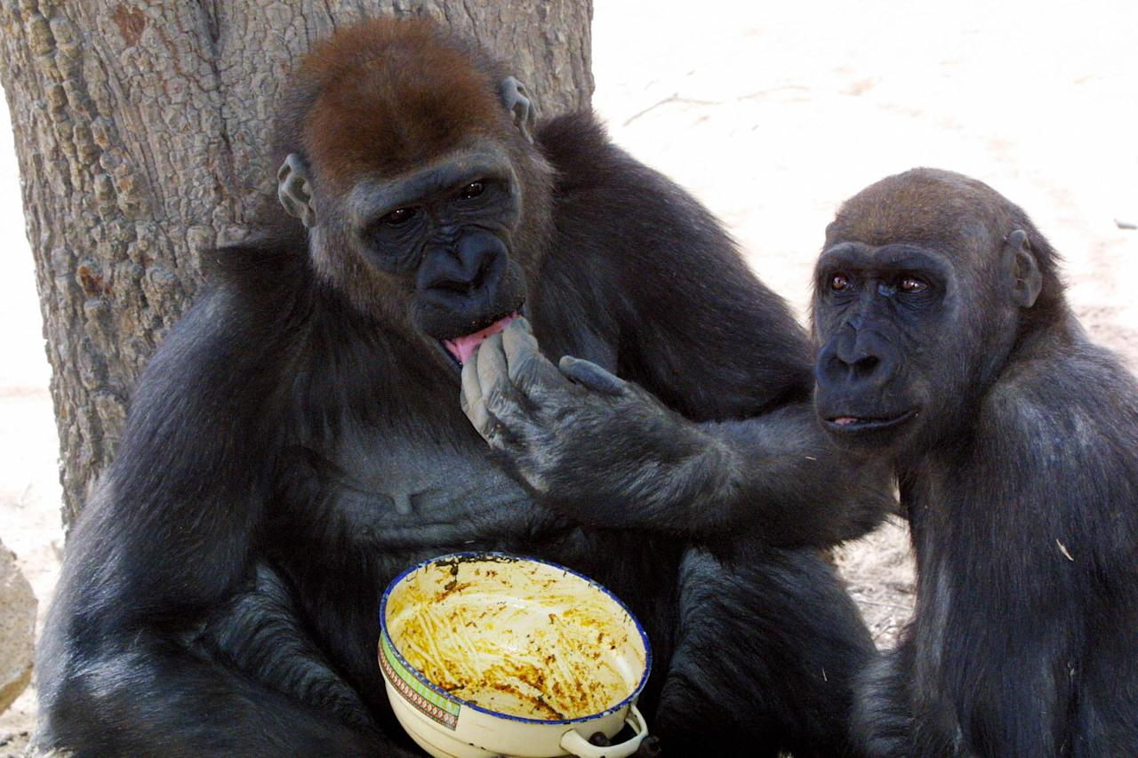 According to WWF, there are only about 200 to 300 of these gorillas left in the wild in Cameroon and Nigeria.