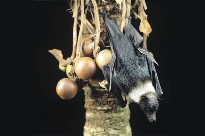 A flying fox on a cycad.
