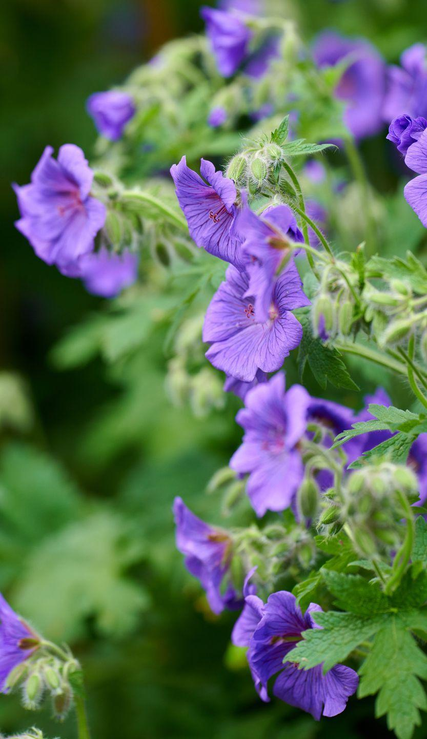 """<p>""""We have a few native Geraniums, but the Meadow Cranesbill is the most widespread. Native to Europe and Asia, many cultivated forms became popular here during Elizabethan times,"""" adds Michael. """"It's a strong nectar source for honeybees, buff-tailed bees, red-tailed bees as well as solitary wasps.""""</p><p><a class=""""link rapid-noclick-resp"""" href=""""https://go.redirectingat.com?id=127X1599956&url=https%3A%2F%2Fwww.thompson-morgan.com%2Fp%2Fgeranium-rozanne%2FT12402TM&sref=https%3A%2F%2Fwww.countryliving.com%2Fuk%2Fhomes-interiors%2Fgardens%2Fg35975865%2Fbee-friendly-wildflowers%2F"""" rel=""""nofollow noopener"""" target=""""_blank"""" data-ylk=""""slk:BUY MEADOW CRANESBILL SEEDS"""">BUY MEADOW CRANESBILL SEEDS</a></p>"""