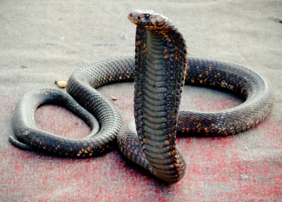 Africa, North Africa, Morocco, View Of Cobra Snake Used To Entertain Tourists (Year 2007)