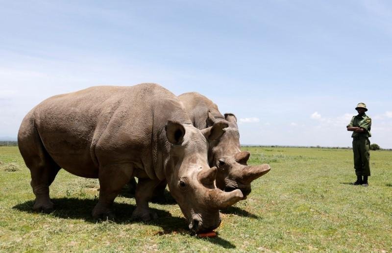 FILE PHOTO: Najin and her daughter Fatou, the last two northern white rhino females, graze near their enclosure at the Ol Pejeta Conservancy in Laikipia National Park