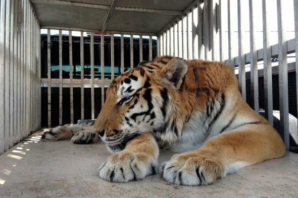 Tiger has HUGE hairball surgically removed from stomach