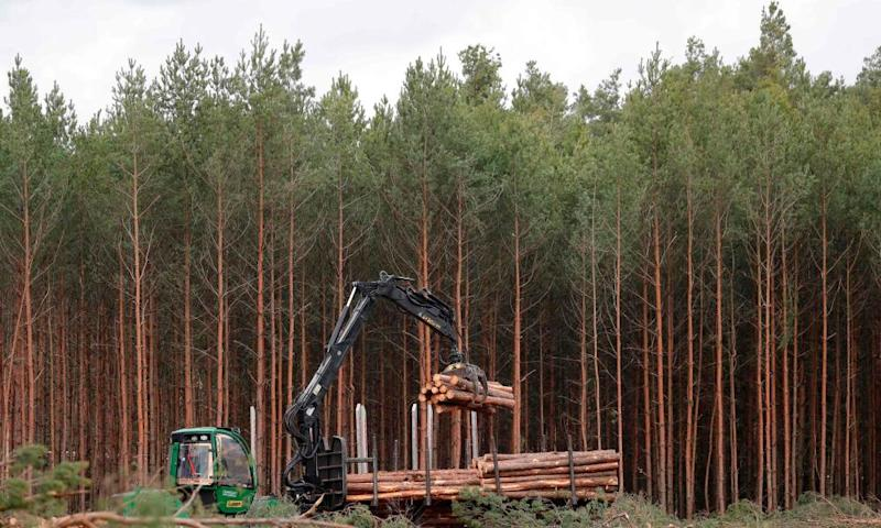 Pine logs are piled up using a tree excavator at the site.