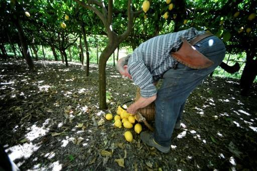 Lemon growing on the steep terraces of the Aceto family's farm on Italy's Amalfi coast is carried out in much the same way as it has been done for centuries