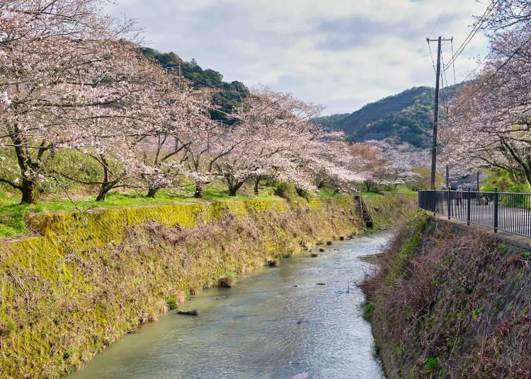 Cherry blossoms reflected on the surface of the Yamanaka River are among the area's highlights