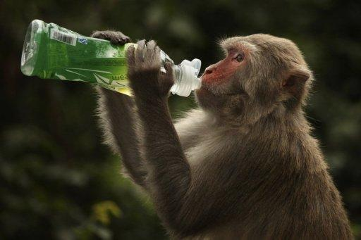 A rhesus macaque monkey drinks from a bottle