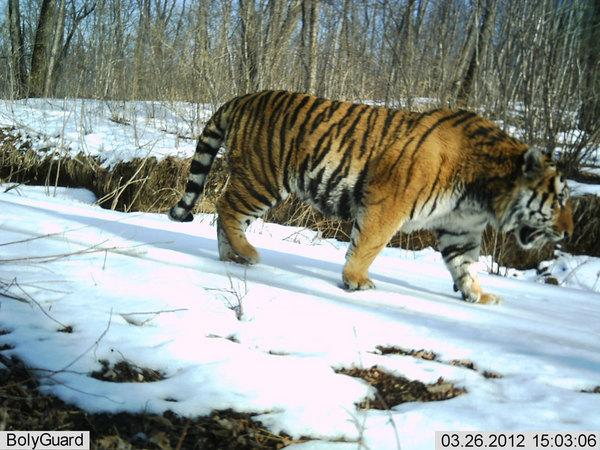 An Amur tiger photographed by a camera trap at a Chinese reserved for the endangered animals.