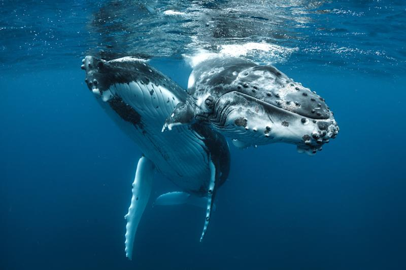 Humpback whales off the coast of Tonga. (Photo: Grant Thomas/Caters News)