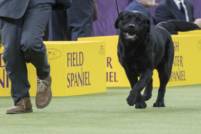 In this Tuesday, Feb. 13, 2018, photo, Memo, a Labrador retriever, competes in the sporting group during the 142nd Westminster Kennel Club Dog Show, at Madison Square Garden in New York. American Kennel Club rankings released in 2018 show Labs remain the country's most popular purebred dog for a 27th year. (AP Photo/Mary Altaffer)