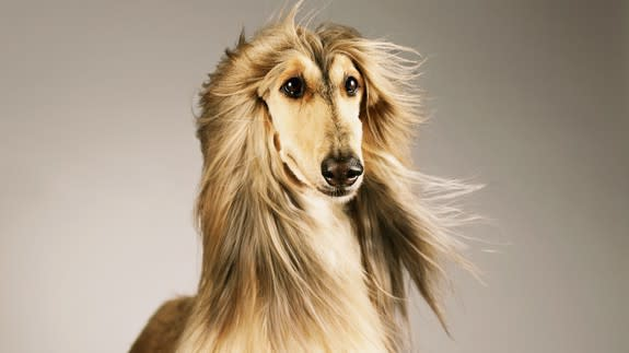 Which fabulous Afghan hound are you?