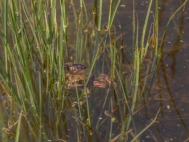 FILE - This May 3, 2019, file photo, provided by the National Park Service shows a close-up image of a red-legged frog released in Cook's Meadow in Yosemite Valley in Yosemite National Park, Calif. A healthy population of red-legged frogs is hopping in Yosemite National Park thanks to a reintroduction program with the San Francisco Zoo. The San Francisco Examiner reports that the zoo on Monday, Aug. 19, 2019, released the last of the more than 1,000 red-legged frogs into the park as part of a four-year-long effort to reintroduce the once-threatened species. (Al Golub/Yosemite Conservancy/National Park Service via AP, File)