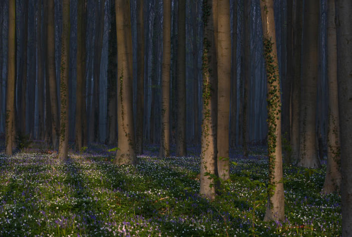 Trees cast a shadow on bluebells, also known as wild Hyacinth, as they bloom on the forest floor of the Hallerbos in Halle, Belgium, Tuesday, April 20, 2021. There is no stopping flowers when they bloom or blossoms when they burst in nature, but there are efforts by some local authorities to limit the viewing. Due to COVID-19 restrictions visits to the forest to see the flowers has been discouraged for a second year in a row. (AP Photo/Virginia Mayo)