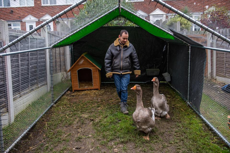 "Sven Kirby, 34, has been served a noise abatement notice for his pet geese Norbert and Beep-Beep, pictured at home in Leeds, West Yorks., November 20 2020. See SWNS story SWLEgeese; A bachelor who bought two pet geese to keep him company has spoken of his devastation after the council ordered him to get rid of them - because of their constant honking. Sven Kirby, 34, bought the birds for £40 each in June and since then he has hand reared them to the point they freely waddle around his house wearing nappies. The geese, named Beep Beep and Norbert, are frequently been spotted walking with their beloved owner around Leeds, West Yorks., and they even accompany him to the pub. But Sven now faces the heartbreaking prospect of having to let them go after receiving an abatement notice from his local council saying the birds are making too much noise. The notice, from Leeds City Council, warns Sven he must ""prevent the recurrence of the nuisance"" within 28 days or face a fine of up to £5,000. The admin assistant said: ""I love my geese, they're brilliant characters and great fun to keep as pets."