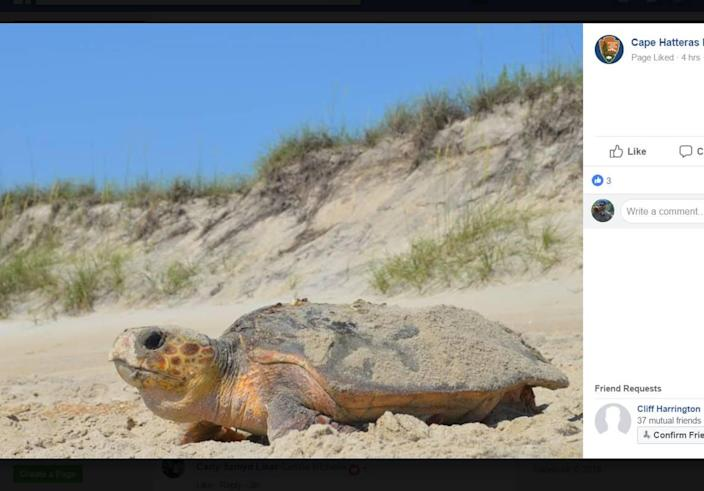 A loggerhead sea turtle was spotted nesting on the N.C. Outer Banks.