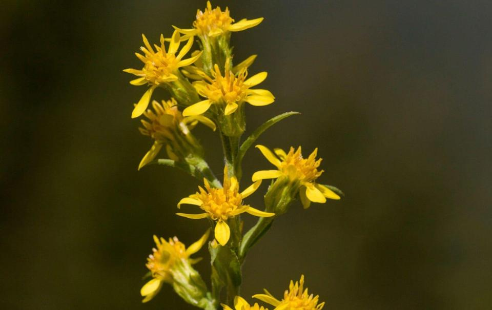 Solidago virgaurea creates a cloud of smaller flowers to show daisies off against - Alamy