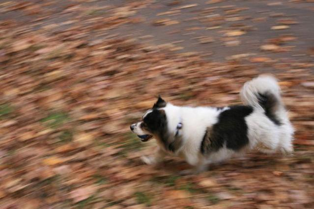 Buster running through leaves. (Photo: Donna Freydkin)