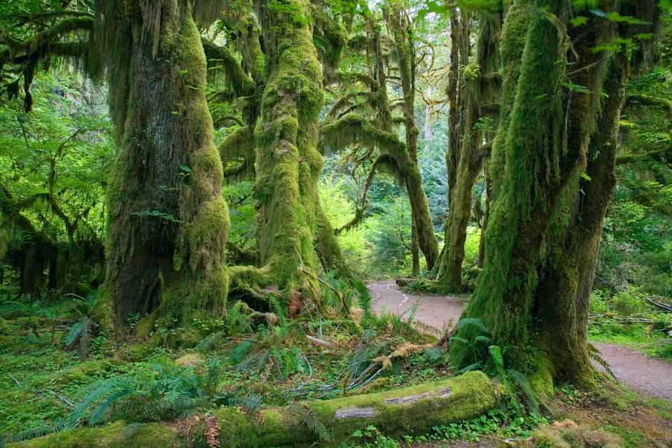 "<p><strong>Best thing to do in Washington:</strong> Stand in the middle of a rainforest</p> <p>Honestly, you'll be happy anywhere in Washington's Olympic National Park—but we do suggest you make it a priority to walk through the Hoh Rain Forest. It's one of the only rainforests in the U.S., complete with lichen-shrouded trees and fungus-covered logs that make you forget which country you're in for a moment. Even better? The Hoh River Valley is home to the <a href=""https://www.cntraveler.com/story/olympic-national-park-is-home-to-the-quietest-spot-in-the-continental-us?mbid=synd_yahoo_rss"" rel=""nofollow noopener"" target=""_blank"" data-ylk=""slk:quietest spot"" class=""link rapid-noclick-resp"">quietest spot</a> in the contiguous 48 states, according to Gordon Hempton, an expert acoustic ecologist.</p>"