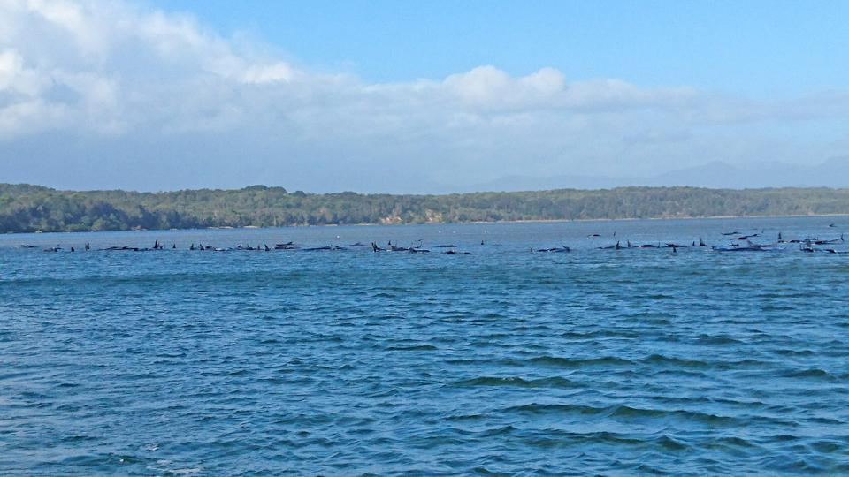In this handout provided by Tasmania Police, hundreds of pilot whales are seen stranded on a sand bar on September 21, 2020 in Strahan, Australia. (Photo by Tasmania Police via Getty Images)
