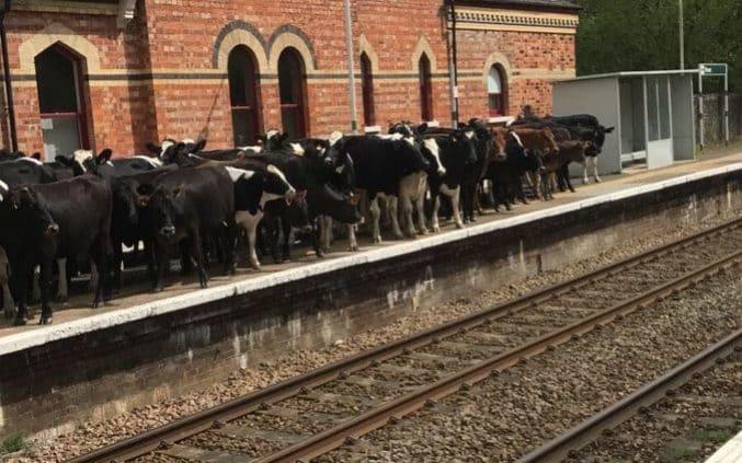 Cows spotted on Hever station platform - Luke Ryan