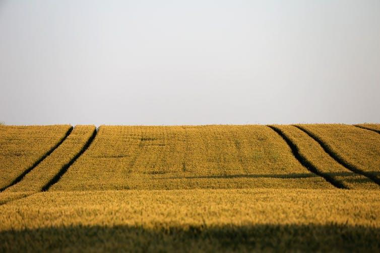 A field of identical crops under a pale sky