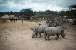 Woman held at S.Africa airport for rhino horn smuggling